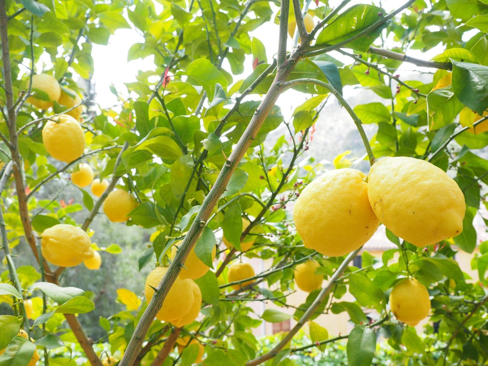natura-piante-vegetali-limone